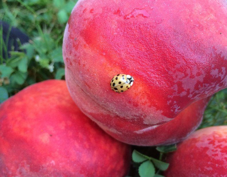 Fresh Peaches & A Ladybug